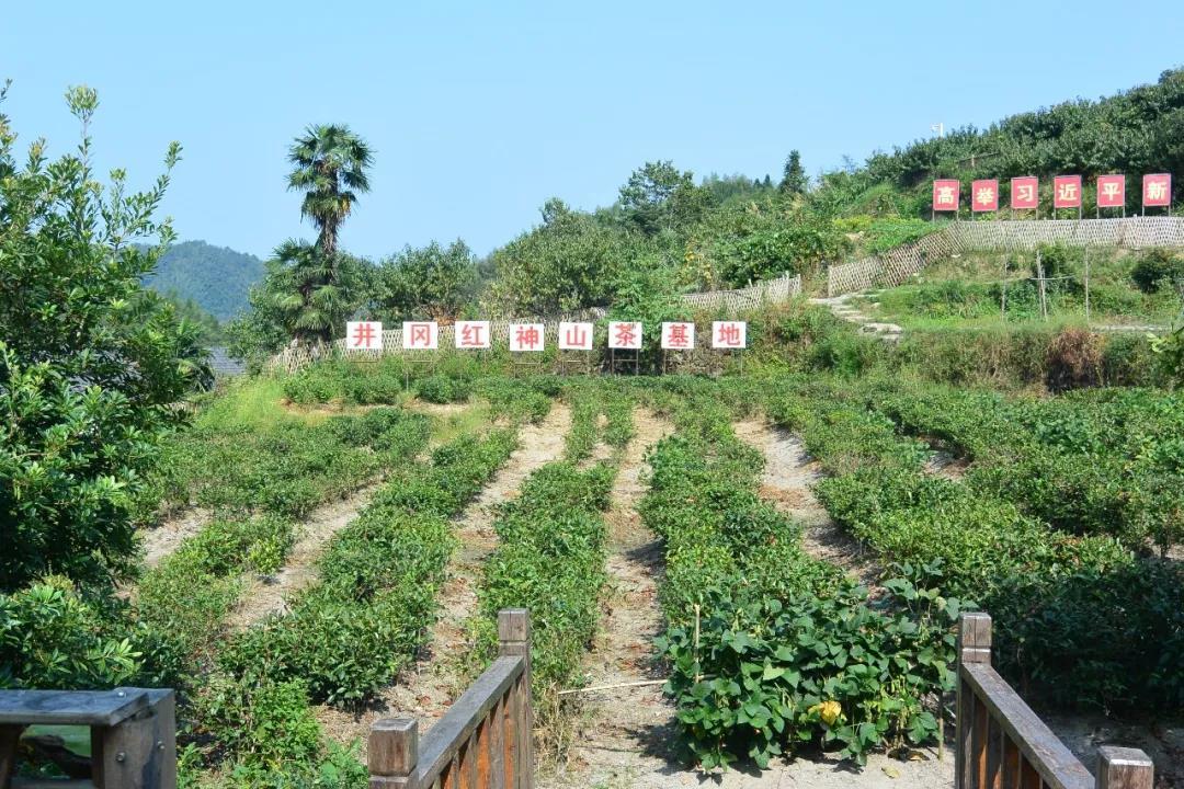 神山村的茶叶种植基地