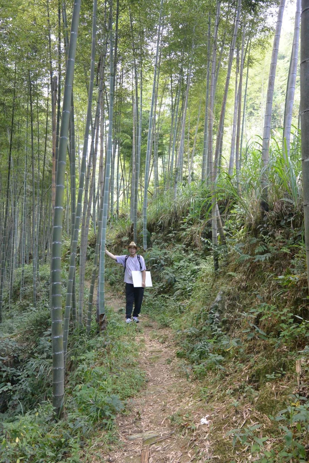 """神山村""""红军小道""""上的竹林"""
